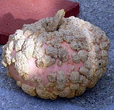 Bumpkin Pumpkin - Peanut Pumpkin 10 Seeds - Galeuse