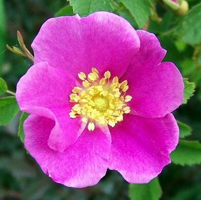 Woods Rose 15 Seeds - Rosa woodsii - HEIRLOOM
