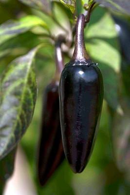 Hungarian Black Pepper 10 Seeds -Mildly Hot/Great Salsa