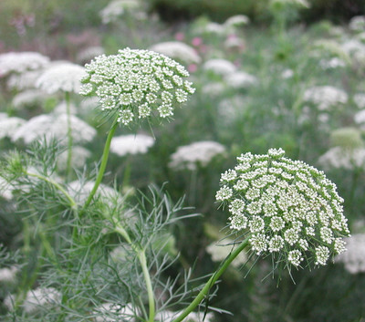 Green Mist Queen Anne's Lace 50 seeds - Ammi