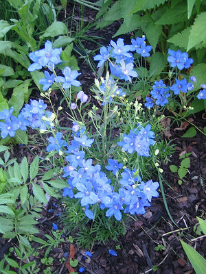 Blue Mirror Delphinium - 50 Seeds, 200 Milligrams