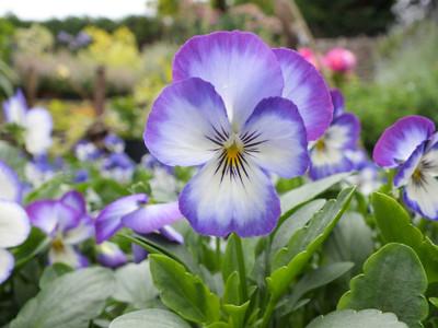 Penny Purple Picotee Viola - 25 Seeds