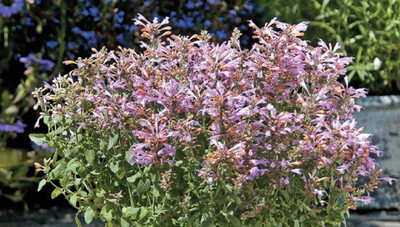 Arizona Sunset Hummingbird Mint - Agastache - 10 Seeds