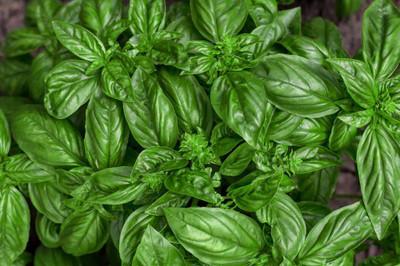 Genovese Basil - 50 Seeds