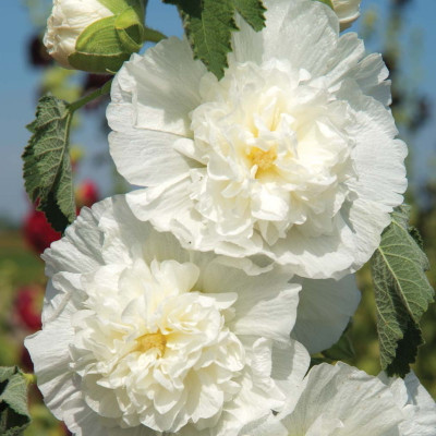 Charters Double White Hollyhock - 20 Seeds