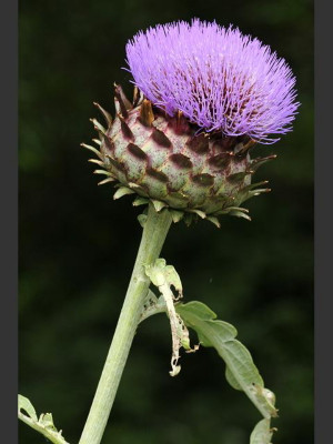 Cardoon 15 Seeds - Edible-Cynara cardunculus - Veggie