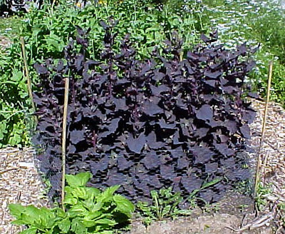Purple Passion Spinach 100 Seeds - Old but NEW! -Veggie - Hirt's Gardens