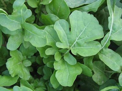 Arugula Roquette 600 Seeds - Soprano Herb