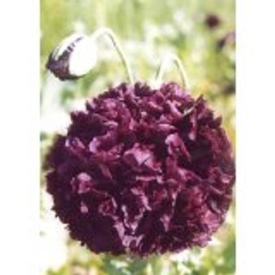 Turkish Bombast Red Somniferum Poppy 200 Seeds