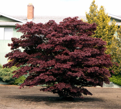 Bloodgood Japanese Maple 7 Seeds - Acer- Bonsai