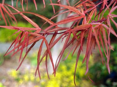 Scolopendrifolium Japanese Maple - 10 Seeds