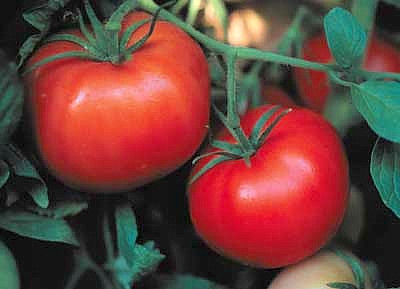 Box Car Willie Tomato 65 Seeds - Prolific Yields!