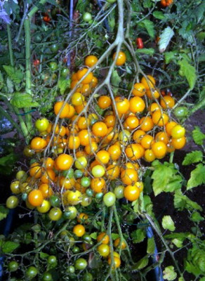 Amazing Yellow Multiflora Tomato 5 Seeds - RARE