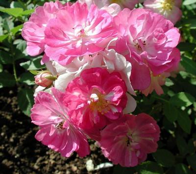 Miniature Angel Wings Rose 10 Seeds - Perennial