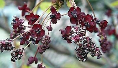 Three Leaf Akebia Vine 10 Seeds - Akebia trifoliate
