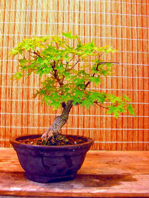 Chinese Maple Bonsai 10 Seeds - Acer truncatum