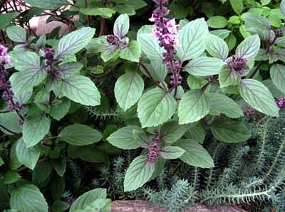 Corsican Basil Herb 200 Seeds - Heirloom - Mild Flavor