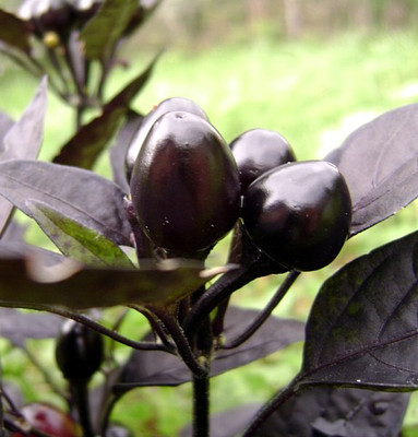 Black Pearl Hot Pepper 10 Seeds - Ornamental/Edible
