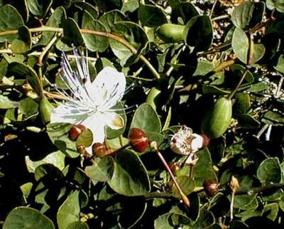 Caper 50 Seeds - Capparis - Veggie