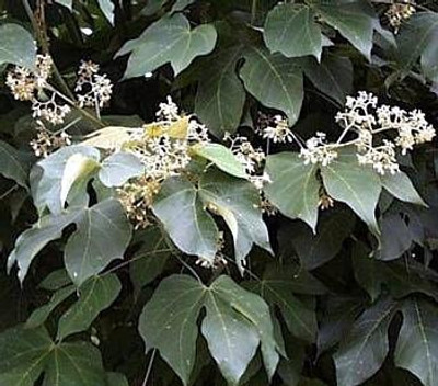 Chinese Parasol Tree 10 Seeds - Firmiana - Tropical