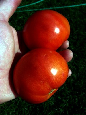 Saint Pierre Tomato 10 Seeds -Grows Well in Bad Weather