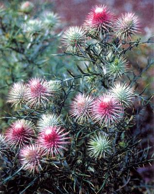 Rose Red Cirsium 10 Seeds - Exotic/Edible - Perennial