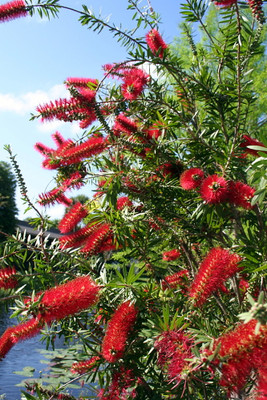 Lemon Bottlebrush Tree 15 Seeds -Callistemon- Tropical