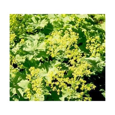 Ladys Mantle - 25 Seeds-Alchemilla mollis-Shade Perennial
