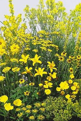 Yellow Perennial Garden 50 Seeds/Seed - Tall