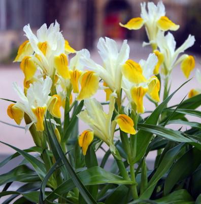 Golden Juno Bucharica Iris 10 Seeds - Perennial