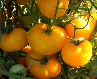 Azoychka Russian Heirloom Tomato-20 Seeds-Deep Yellow