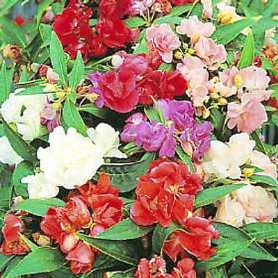 Summer Gardenia 200 Seeds - Balsam - Annual