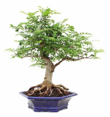 Mescal Bean Tree 10 Seeds - Sophora secundifolia - Herb