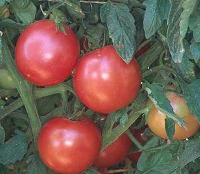 Eva Purple Ball Tomato - 20 Seeds - German Heirloom