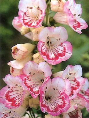Penstemon Sweet Lips 50 Seeds - Perennial