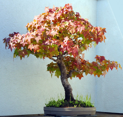 Sweet Gum Tree 7 Seeds - Liquidambar - Bonsai