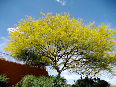 Jerusalem Thorn 10 Seeds-Parkinsonia-Tropical or Bonsai