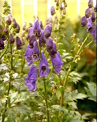 Monkshood 50 Seeds - Aconitum - SHADE PERENNIAL