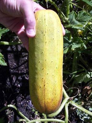 Uzbekski Cucumber 7 Seeds - RARE- Heirloom!