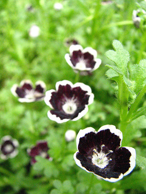 Penny Black - 20 Seeds, 200 mg - Nemophila