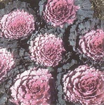 Pink, White, Red Osaka Flowering Cabbage 25 Seeds