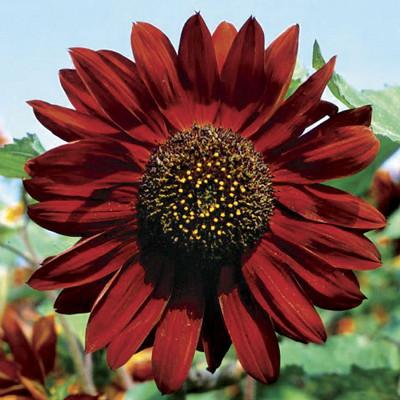 Velvet Queen Sunflower 18 Seeds - Unique - Spectacular