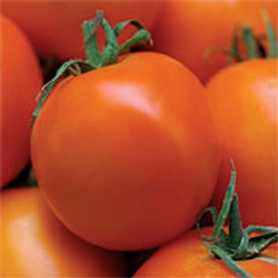 Valencia Tomato - 50 Seeds - Heirloom