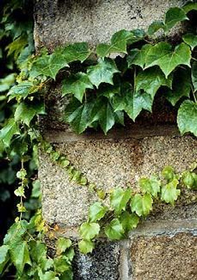 Boston Ivy Vine 15 Seeds-Parthenocissus
