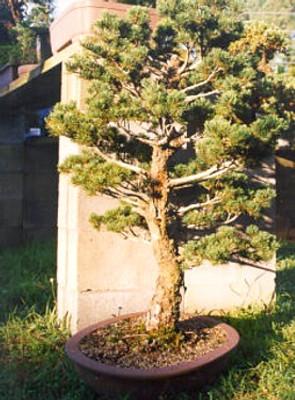 Soledad Pine 4 Seeds - Pinus torreyana - Bonsai