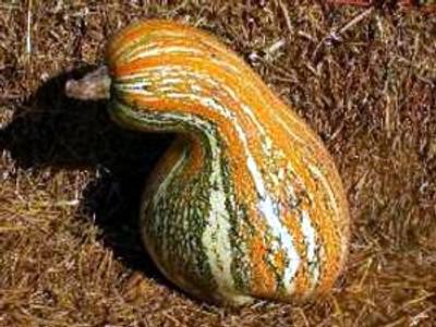 Tricolored Striped Cushaw Pumpkin 15 Seeds