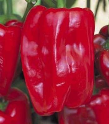 Sweet Redwing Dutch Pepper 15 Seeds/Seed