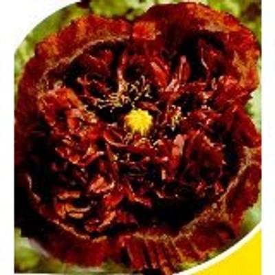 Black Turkish Somniferum Poppy 200 Seeds - Papaver