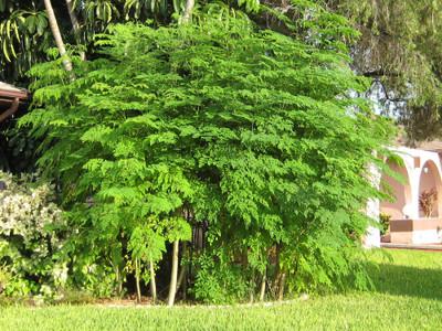 Rare Phantom Miracle Tree -Moringa-Houseplant -10 Seeds