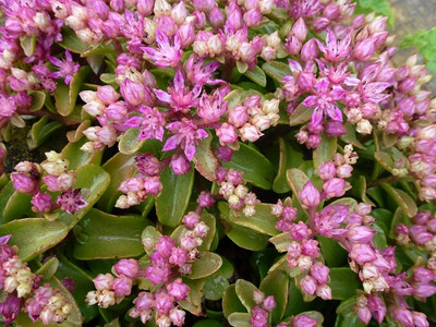 Sedum obtusifolium 'Listoniae' - 50 Seeds
